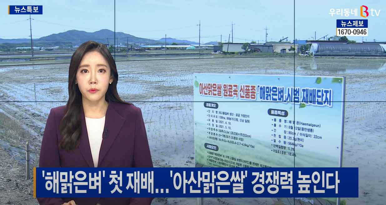 [SK 브로드밴드 BTV 뉴스] 신품종 '해맑은벼' 첫 재배...아산맑은쌀 경쟁력 높인다